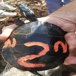 A painted turtle marked for future identification