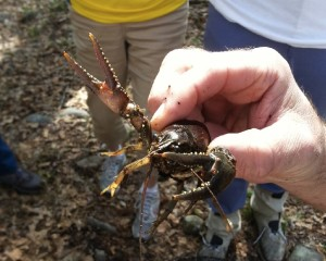 Crayfish at the ice pond