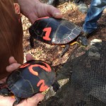 Identifying painted turtles